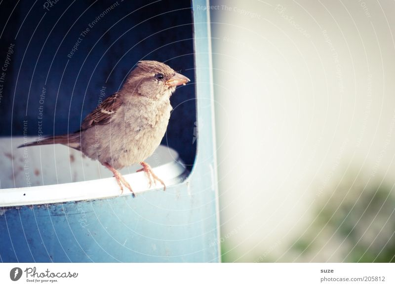 Müllmann Tier Wildtier Vogel 1 sitzen warten authentisch frech klein lustig Neugier niedlich blau Lebensfreude Frühlingsgefühle Tierliebe Interesse Spatz Feder