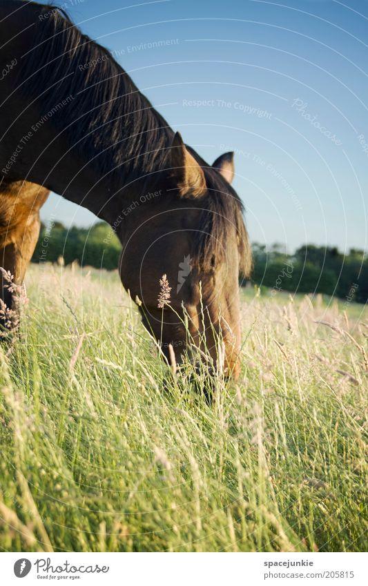 Grasen Reiten Natur Landschaft Himmel Wiese Feld Tier Pferd 1 Fressen elegant Kraft Tierliebe grau Mähne Halm Farbfoto Außenaufnahme Textfreiraum unten