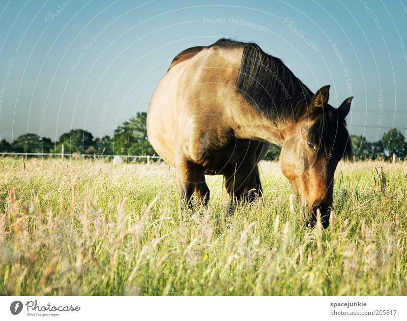Mähdrescher Gras Wiese Tier Pferd 1 beobachten Fressen glänzend Glück blau braun Zufriedenheit Frühlingsgefühle Tierliebe Natur Mähne Landschaft Farbfoto