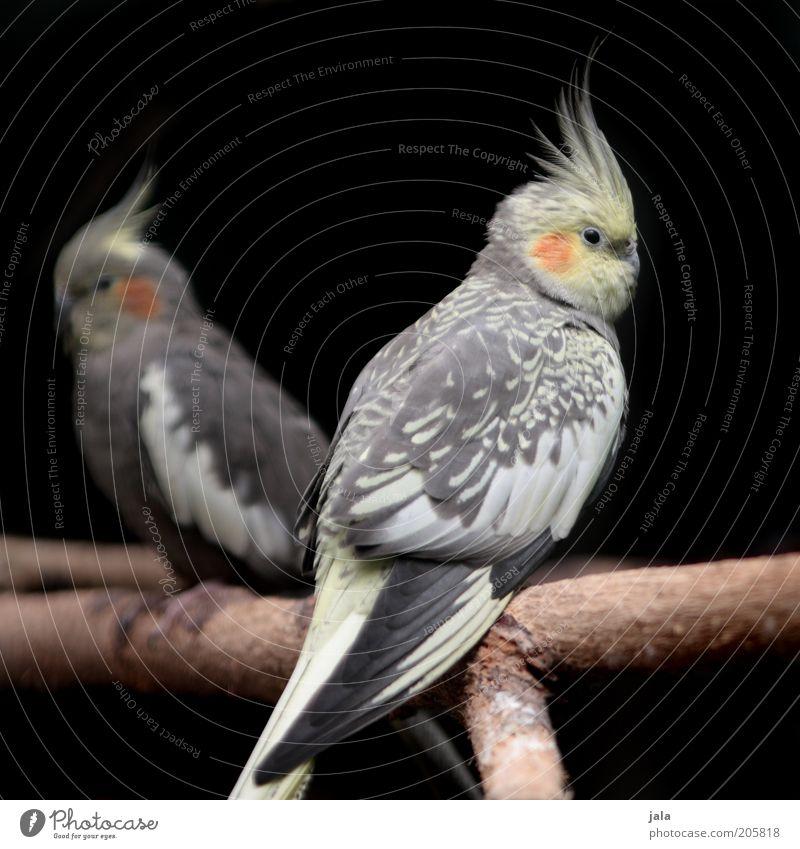 Kakadus Natur schön weiß schwarz Tier gelb Haare & Frisuren grau Zusammensein Vogel Tierpaar sitzen Ast natürlich Zweig Papageienvogel