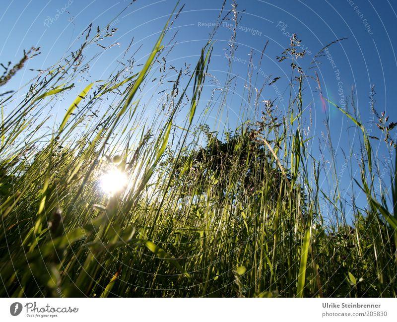 Sommerabendwiese Wiese Gras Rasen Sonne Abendsonne Halm grün Süßgras Gegenlicht Natur Sonnenstrahlen Beleuchtung hoch Grünfutter Erholung Sonnenuntergang lang