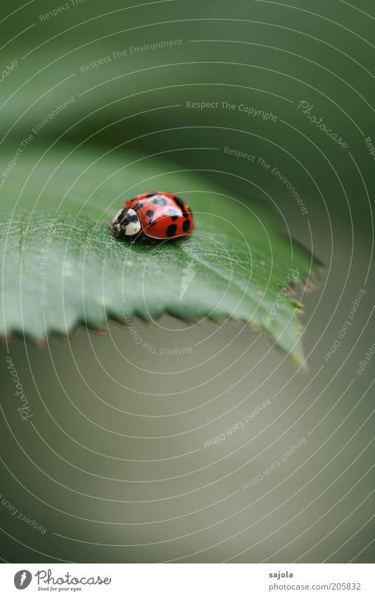 der asiate (FR 6/10) Natur Tier Blatt Käfer Marienkäfer asiatischer Marienkäfer grün rot Hochformat Glücksbringer Farbfoto Außenaufnahme Menschenleer