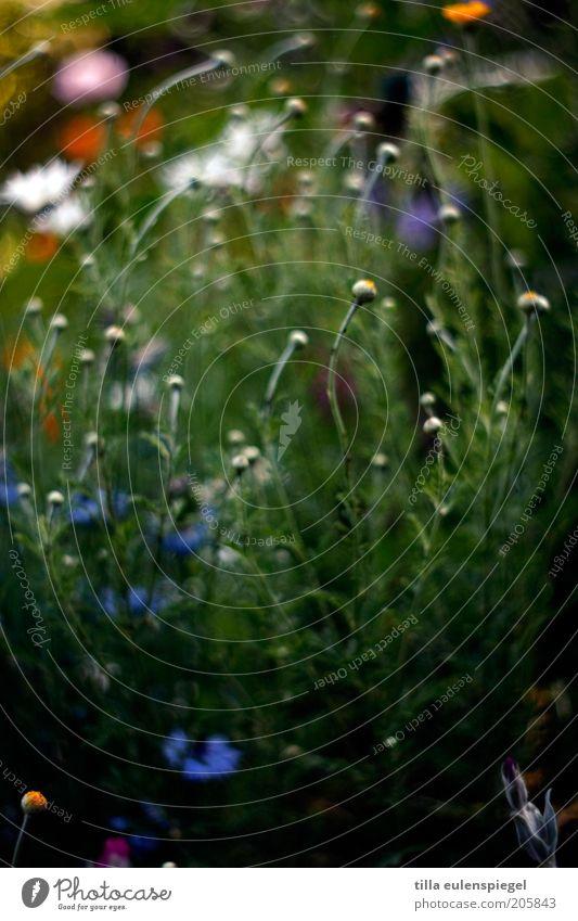 für blumenmädchen Natur Blume grün Pflanze Sommer dunkel Wiese Blüte Gras Umwelt Wachstum wild natürlich Blühend Duft