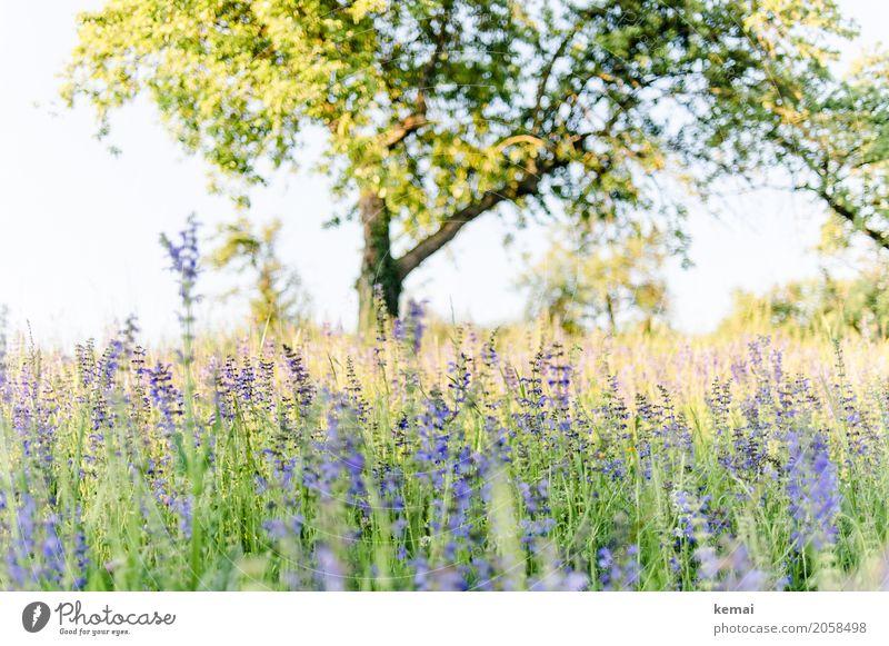 Sommerwiese und Baum Leben harmonisch Wohlgefühl Sinnesorgane Erholung ruhig Freiheit Umwelt Natur Pflanze Wolkenloser Himmel Schönes Wetter Wärme Blume Gras