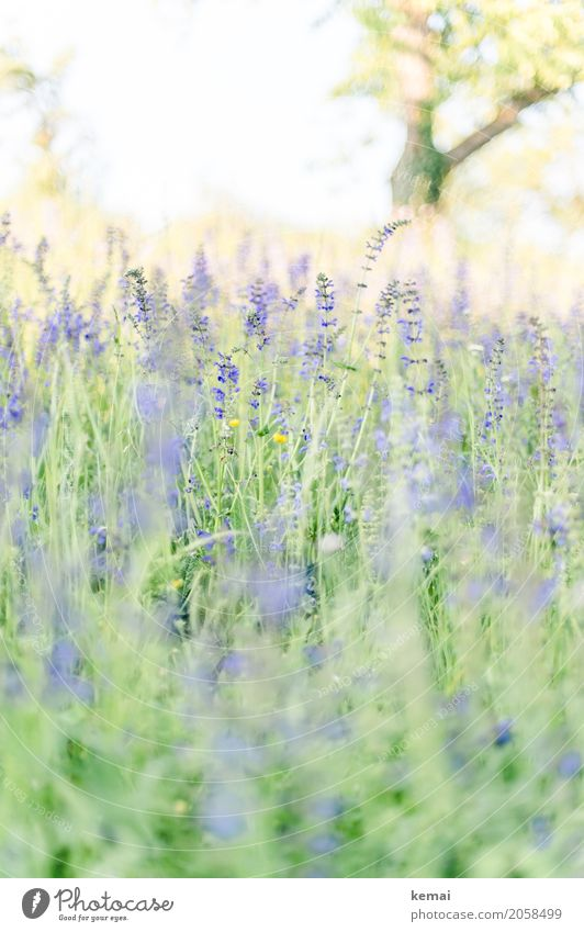 Es blüht! Leben harmonisch Wohlgefühl Sinnesorgane Erholung ruhig Freiheit Natur Pflanze Wolkenloser Himmel Sommer Schönes Wetter Wärme Baum Blume Gras