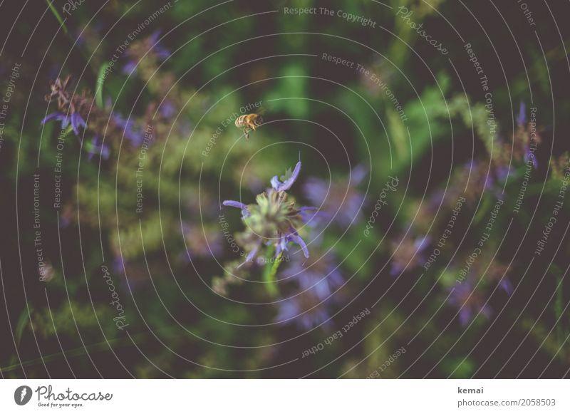Busy bee Natur Pflanze Sommer schön Blume Erholung Tier ruhig Wärme Leben Blüte fliegen Ausflug Zufriedenheit Wildtier authentisch