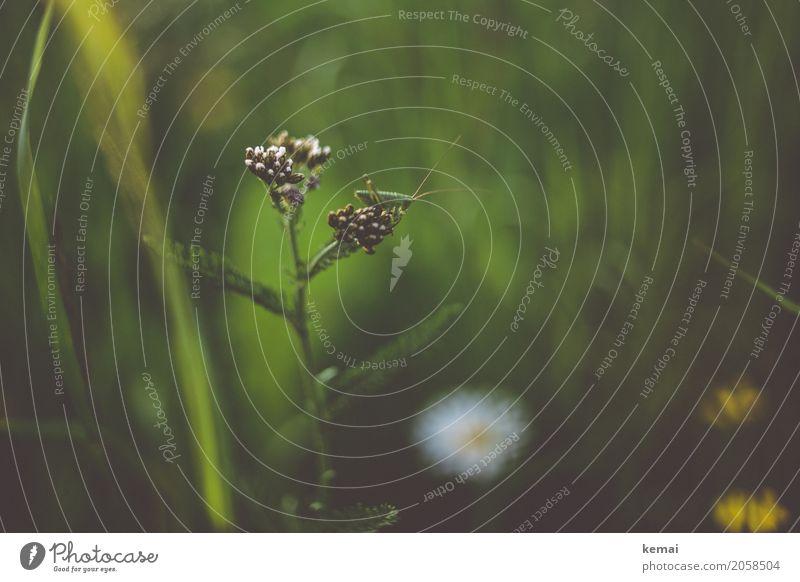 Grashüpfer Natur Pflanze Sommer grün Blume Erholung Tier ruhig Wärme Wiese Freiheit Freizeit & Hobby Zufriedenheit Feld Wildtier