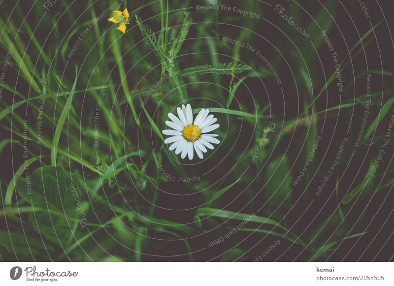 Gänseblümchen Leben harmonisch Erholung ruhig Natur Pflanze Sommer Schönes Wetter Blume Gras Blüte Grünpflanze Wildpflanze Wiese Blühend Wachstum authentisch
