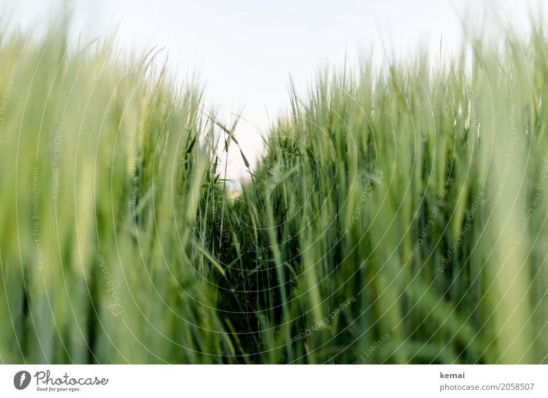 Greener days Natur Pflanze Sommer schön grün Erholung ruhig Wärme Umwelt Freiheit Ausflug Zufriedenheit Feld Wachstum frisch authentisch
