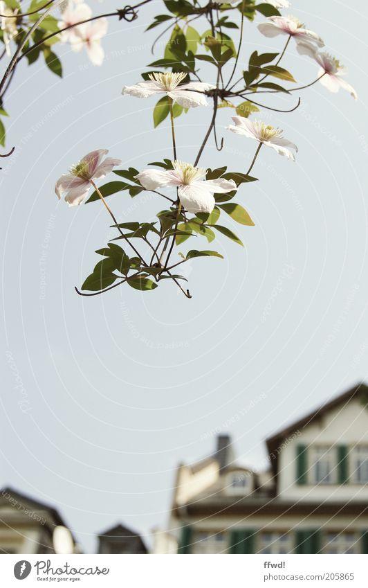 Urbaner Schönwuchs 2.0 Natur Himmel Pflanze Haus Stil Blüte Garten elegant Wachstum Sträucher rein Blühend Frühlingsgefühle