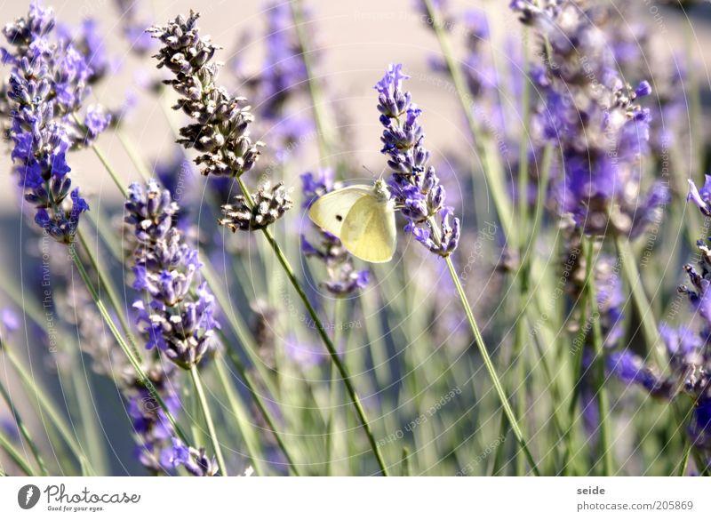 ertappt Natur grün schön Einsamkeit Frühling klein natürlich elegant violett Gelassenheit Schmetterling Duft Kräuter & Gewürze Reinheit Lavendel Heilpflanzen