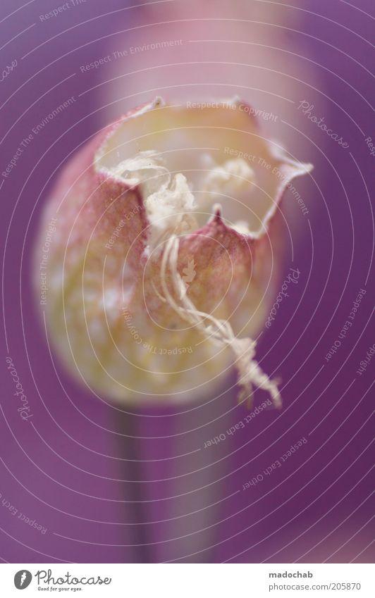femiliana floralitis Natur Pflanze schön Blume ruhig Blüte Glück Stimmung Zufriedenheit ästhetisch Fröhlichkeit Lebensfreude violett Wohlgefühl Duft harmonisch