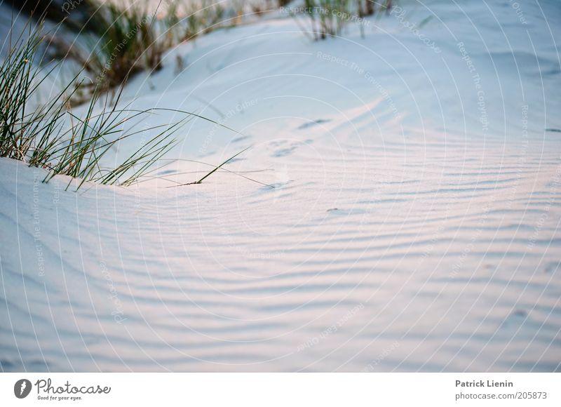 Blaue Stunde Umwelt Natur Landschaft Pflanze Urelemente Erde Sand Sommer Wetter Wind Wildpflanze Düne strandhafer Rippeln Strukturen & Formen Gedeckte Farben