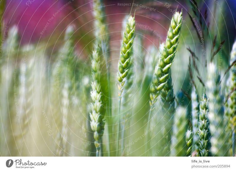 ein Hauch Natur Natur schön grün Sommer ruhig Feld Umwelt Wachstum Lebensfreude Landwirtschaft reif Ähren Weizen ländlich Inspiration Freude