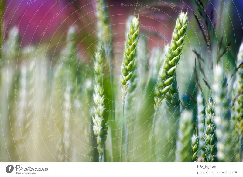 ein Hauch Natur schön grün Sommer ruhig Feld Umwelt Wachstum Lebensfreude Landwirtschaft reif Ähren Weizen ländlich Inspiration Freude