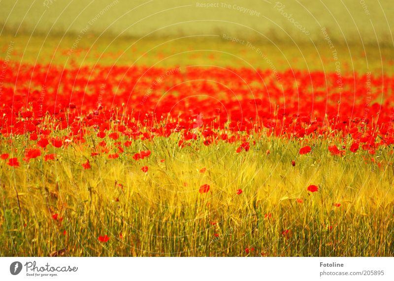 Mohn, Mohn, Mohn... Natur Blume Pflanze rot Sommer Blüte Wärme Landschaft hell Feld Umwelt natürlich Getreide Kornfeld Wiese