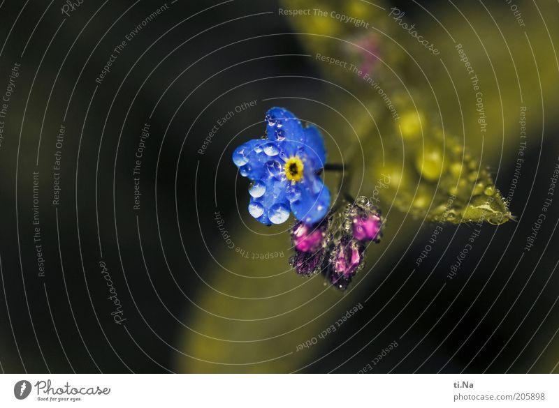 mit Wasser Natur Blume blau Pflanze Blatt Blüte Umwelt Wassertropfen nass Wachstum violett Blühend Duft Tau Makroaufnahme Blütenblatt