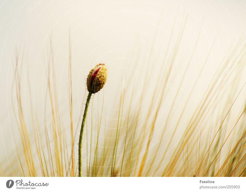 Mohn trifft Gerste Umwelt Natur Pflanze Himmel Wolkenloser Himmel Sommer Wärme Blume Blüte Feld hell natürlich rot Mohnblüte Getreide Blühend Farbfoto
