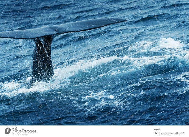 Wal Mensch Natur Meer blau Ferien & Urlaub & Reisen Tier Freiheit Wellen Umwelt Ausflug Abenteuer Zukunft Tourismus Klima tauchen beobachten