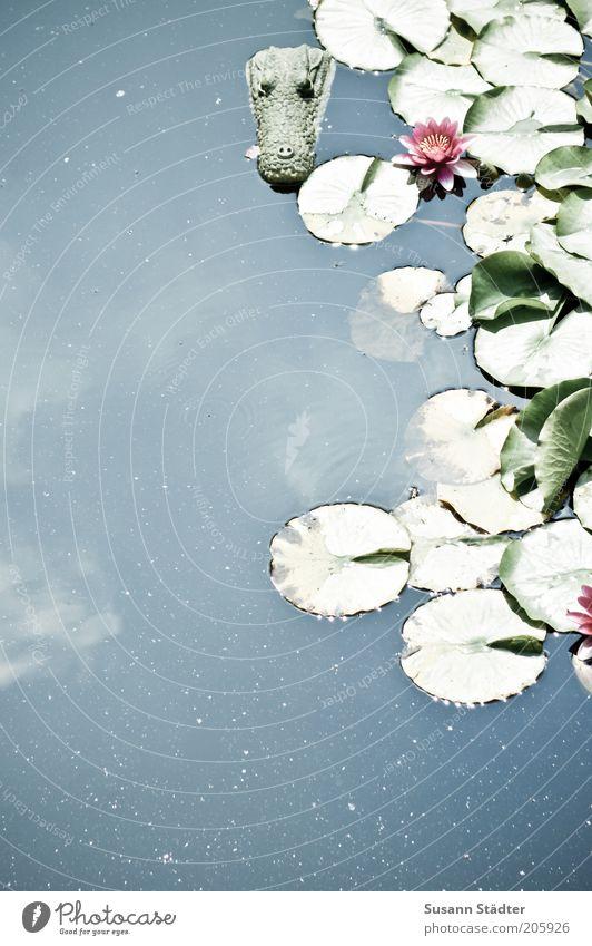 Bayerisches Idyll Wasser Sommer Pflanze Blume Blüte exotisch Urwald Seeufer Flussufer Teich Wildtier Tiergesicht bedrohlich Krokodil Wolken Schrecken Panik