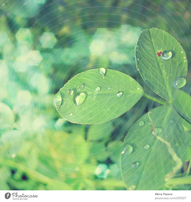 [50] Glitzerndes Glück Natur grün Blatt Glück glänzend Wassertropfen frisch Tropfen leuchten Symbole & Metaphern Tau Klee Kleeblatt Farbe Blume Pflanze
