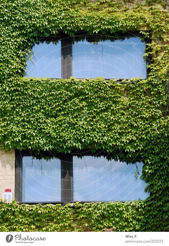Efeu Pflanze Sträucher Blatt Grünpflanze Haus Mauer Wand Fassade Fenster Wachstum Farbfoto Außenaufnahme Menschenleer Reflexion & Spiegelung Alarmanlage