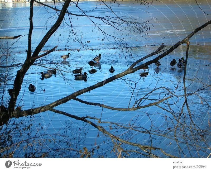 die Enten vom Thalersee See Eis