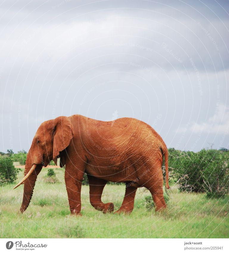 Dickhäuter Himmel Natur blau grün rot Tier Wärme Leben Bewegung Gras Freiheit gehen Kraft Wildtier Sträucher groß