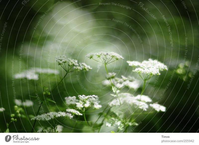 Schafgarbe 2 Natur weiß grün schön Sommer Pflanze Frühling Blüte Gesundheit natürlich Schönes Wetter Blühend Korbblütengewächs Nutzpflanze Heilpflanzen