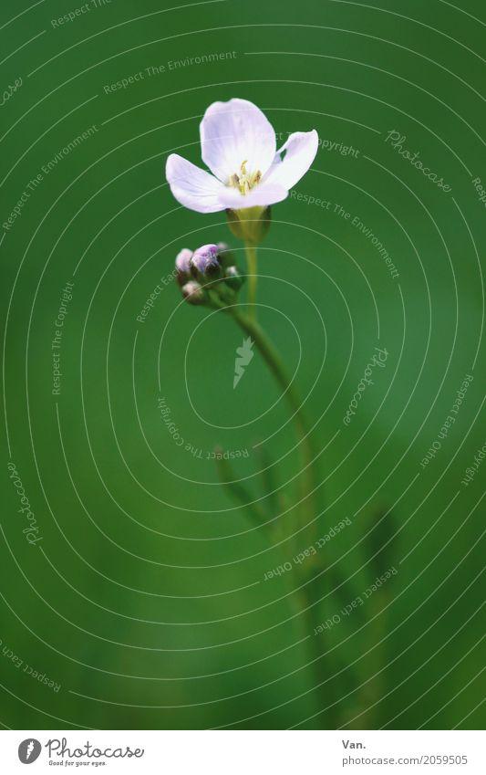 Blühdings Natur Pflanze Frühling Blume Gras Blüte Garten Blühend klein grün weiß Farbfoto Gedeckte Farben Außenaufnahme Detailaufnahme Makroaufnahme