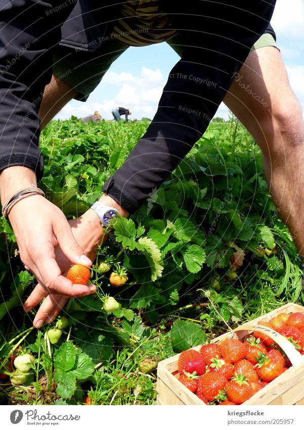 Alle Jahre wieder... Mensch Natur Hand rot Sommer Leben Ernährung Landschaft Arbeit & Erwerbstätigkeit Feld maskulin frisch Schönes Wetter Gesunde Ernährung
