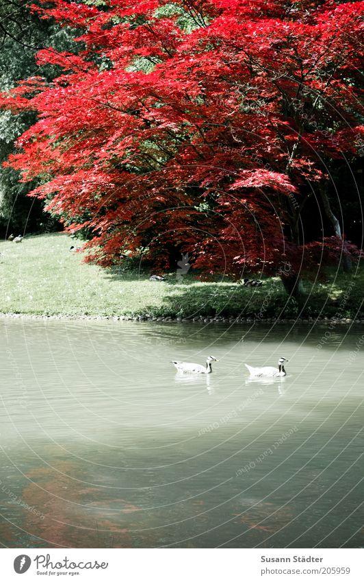 am japanischen Teehaus Natur Pflanze Tier Wasser Baum Garten Park Wiese Seeufer Flussufer Wildtier Flügel 2 Tierpaar Ente Zusammensein rot außergewöhnlich
