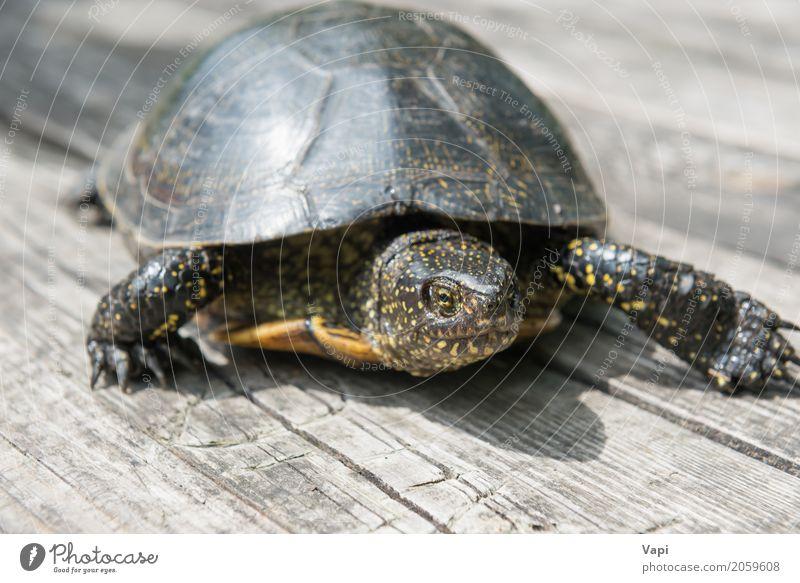 Große Schildkröte auf altem hölzernem Schreibtisch exotisch Sommer Sonne Garten Tisch Umwelt Natur Tier Sonnenlicht Haustier Wildtier 1 Holz krabbeln klein