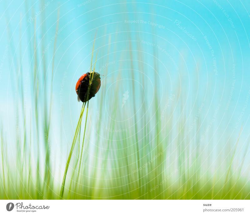 Aufsteiger Getreide Glück Umwelt Natur Tier Himmel Schönes Wetter Gras Wiese Feld Käfer 1 authentisch klein natürlich niedlich oben Spitze blau grün Mut Ziel
