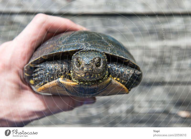 Eine Hand mit großer Haustierschildkröte verbarg sich im Oberteil Natur alt Sommer Sonne Tier Umwelt gelb natürlich Holz klein grau braun wild Wildtier Tisch