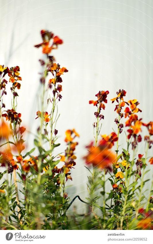 Erysimum cheiri Blume Blühend Blüte Erholung Garten Schrebergarten Kleingartenkolonie Natur Pflanze ruhig Sommer Sträucher Textfreiraum Tiefenschärfe Zweig
