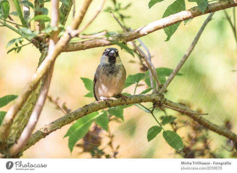 Spatz im Baum Umwelt Natur Pflanze Tier Sonne Sonnenlicht Klima Schönes Wetter Wildtier Vogel Tiergesicht Flügel Krallen Schnabel Feder 1 beobachten fliegen