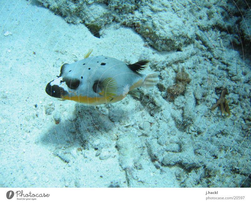 Maskenkofferfisch Unterwasseraufnahme Korallen tauchen Tauchgerät Meer Strand Fisch Schwimmhilfe Meeresbewohner Wasser