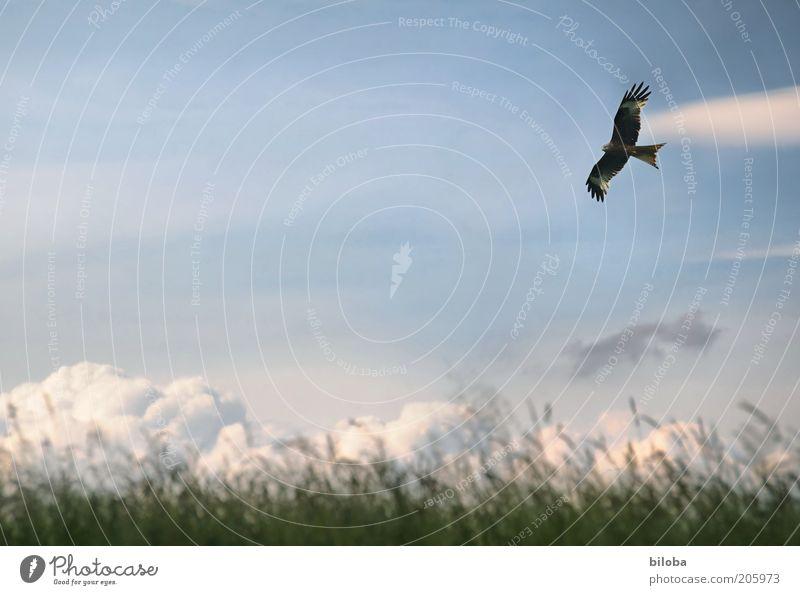 Freiheit Wolken Klima Wetter Vogel Flügel 1 Tier blau braun grün weiß ästhetisch Mäusebussard Segeln Textfreiraum rechts fliegen Außenaufnahme Farbfoto Wiese