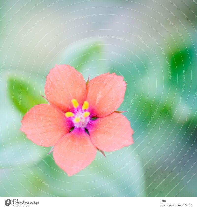 oft übersehen Umwelt Natur Pflanze Blume Blüte klein zart Unschärfe Pollen Blütenblatt Farbfoto Makroaufnahme Menschenleer Textfreiraum oben