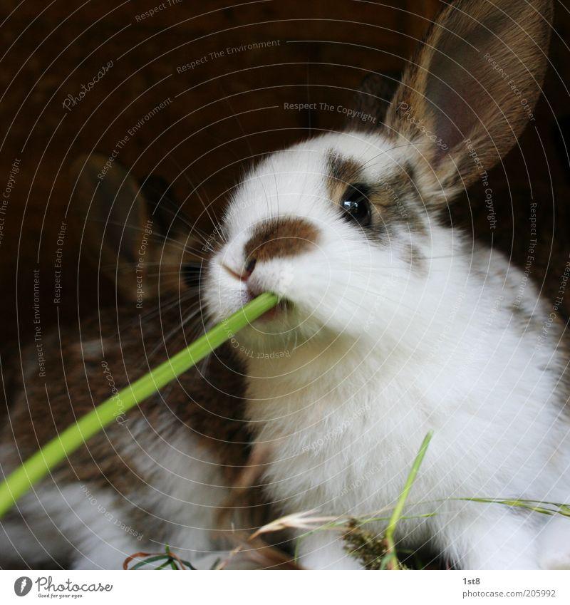 BarHase Umwelt Natur Pflanze Tier Haustier Nutztier Hasenohren Fressen füttern genießen saftig skurril Halm Trinkhalm saugen Fell Farbfoto Außenaufnahme
