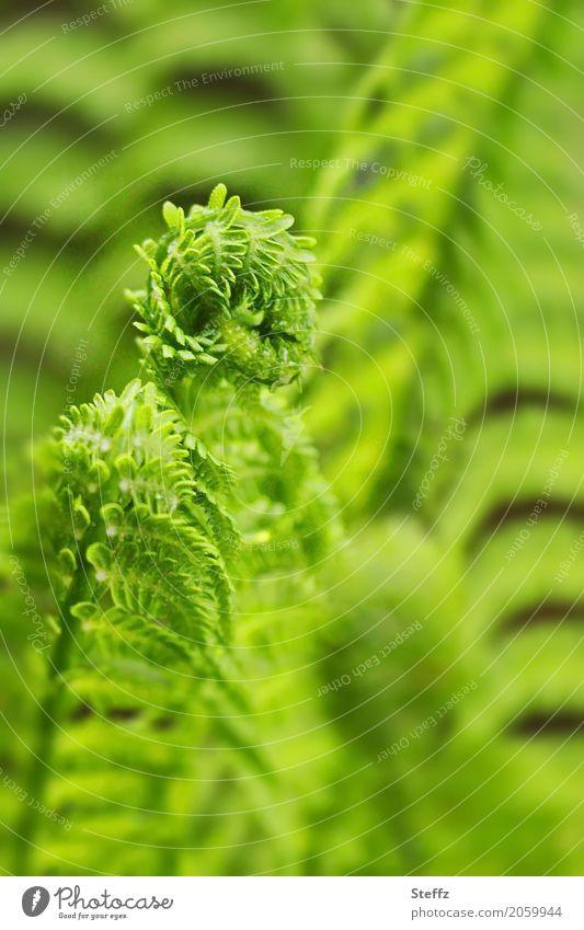 ganz unter sich Umwelt Natur Pflanze Frühling Farn Wildpflanze Gartenpflanzen Straußenfarn Grünpflanze Farnblatt Jungpflanze Waldpflanze Park Wachstum schön