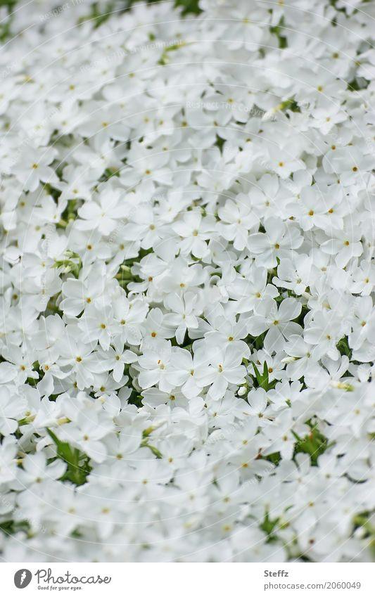 quite a few Phlox Frühlingsblume Natur Pflanze Blumen Stauden Blütenstauden Gartenpflanzen Park duftig Duft viele weiß Fröhlichkeit Romantik weiße Blumen