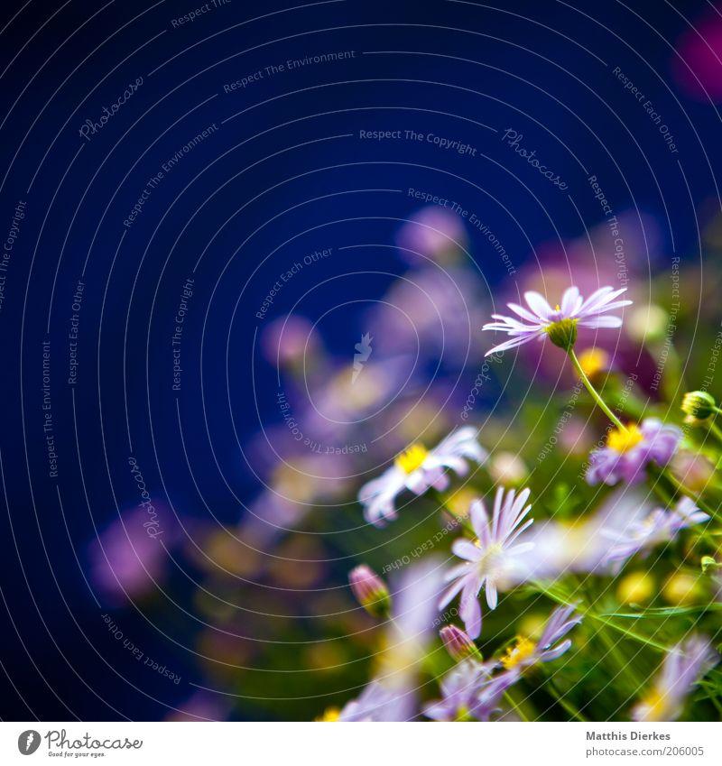 Blümschen Umwelt Natur Pflanze Sommer Duft schön weich blau grün Gänseblümchen Margerite Balkonpflanze Häusliches Leben Dekoration & Verzierung Unschärfe