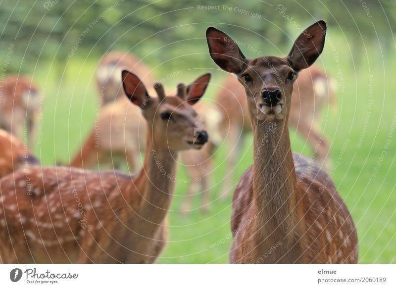 Klick Sika Sikawild Sikahirsch Bock Hirsche Ohr Fleck Zeichnung Tiergruppe beobachten Kommunizieren Blick stehen einzigartig braun Glück Zufriedenheit Vertrauen
