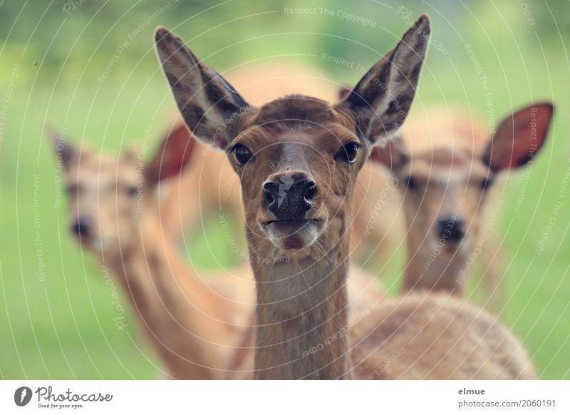 Neugier Fell Sikahirsch Sikawild Ohr Auge Wildtier Tiergruppe Radartüte beobachten Kommunizieren stehen Zusammensein nah braun Vertrauen Interesse Respekt Stolz