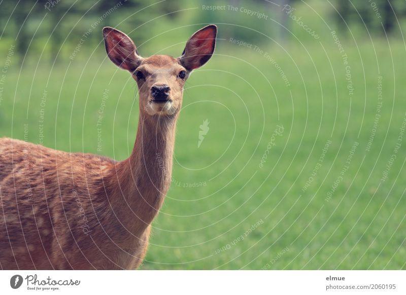 im Visier Wildtier Tiergesicht Sikahirsch Sikawild weiblicher Sikahirsch feminin Ohr Fleck beobachten Kommunizieren Blick stehen elegant schön natürlich braun