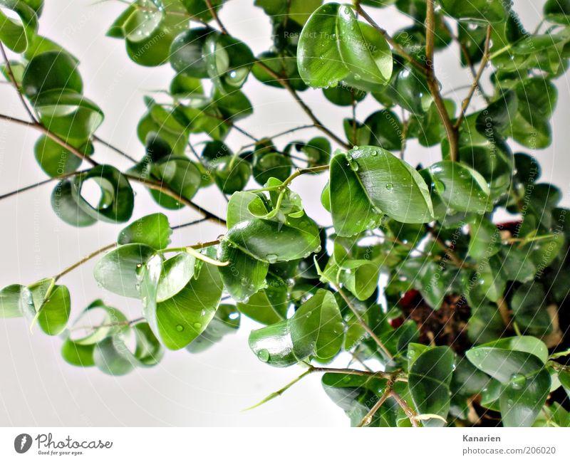 Kringelblätter Erde Wasser Wassertropfen Pflanze Blatt Topfpflanze Umwelt Farbfoto Innenaufnahme Makroaufnahme Menschenleer Grünpflanze gießen grün Tag