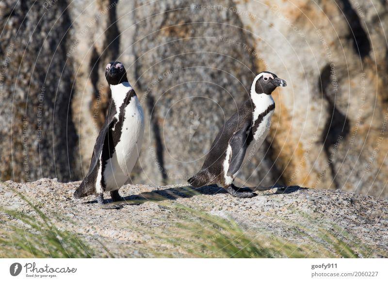 Was ist da los??? Natur Landschaft Frühling Sommer Schönes Wetter Küste Strand Südafrika Afrika Tier Wildtier Tiergesicht Fell Pinguin 2 Tierpaar Stein
