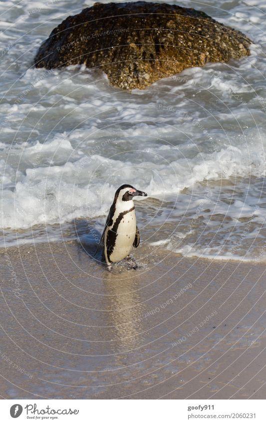Was nun??? Natur Landschaft Wasser Frühling Sommer Schönes Wetter Felsen Wellen Küste Strand Bucht Meer Südafrika Afrika Tier Wildtier Tiergesicht Fell Pinguin